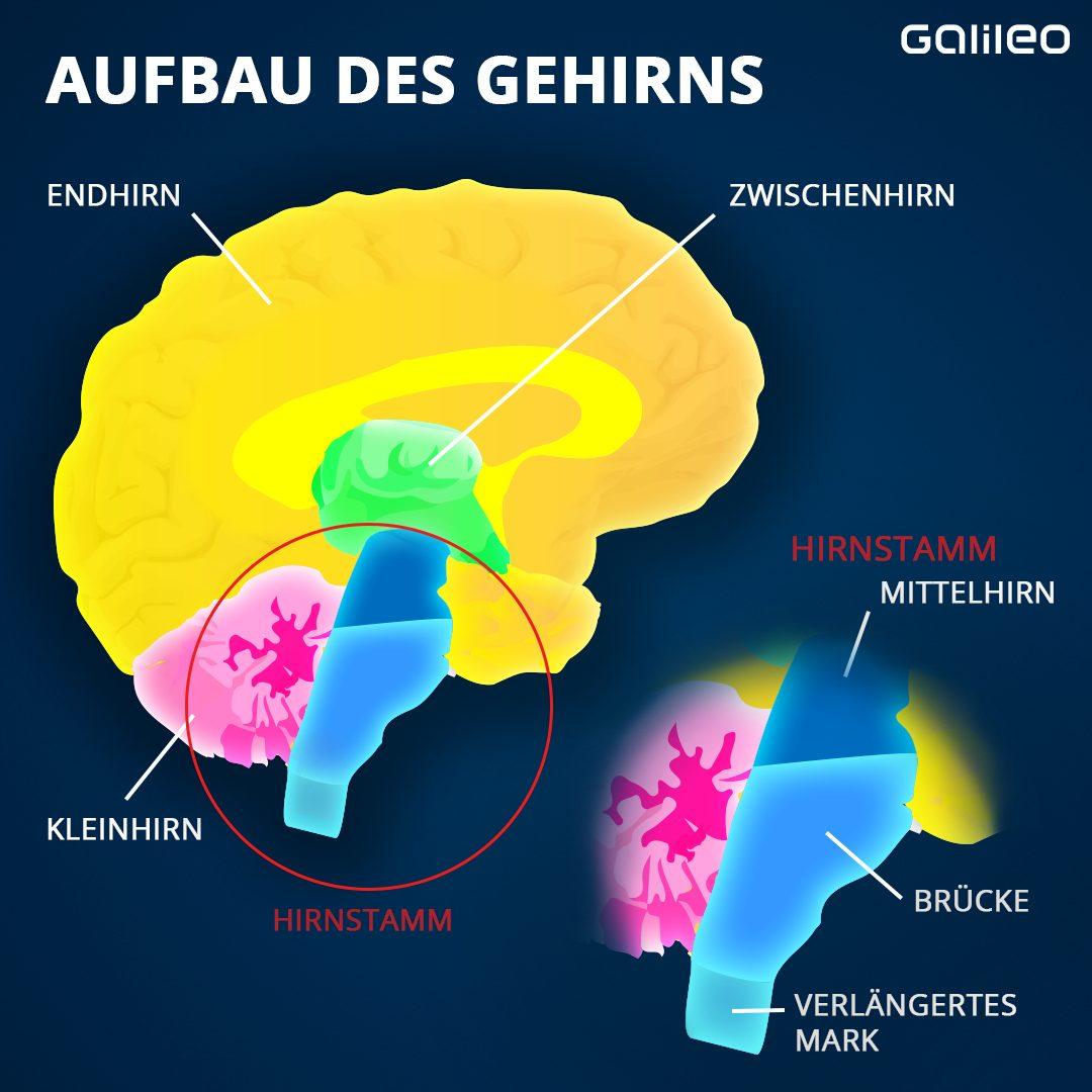 Das Gehirn wird in verschiedene Regionen unterteilt: Groß-, Zwischen- und Kleinhirn sowie den Hirnstamm.