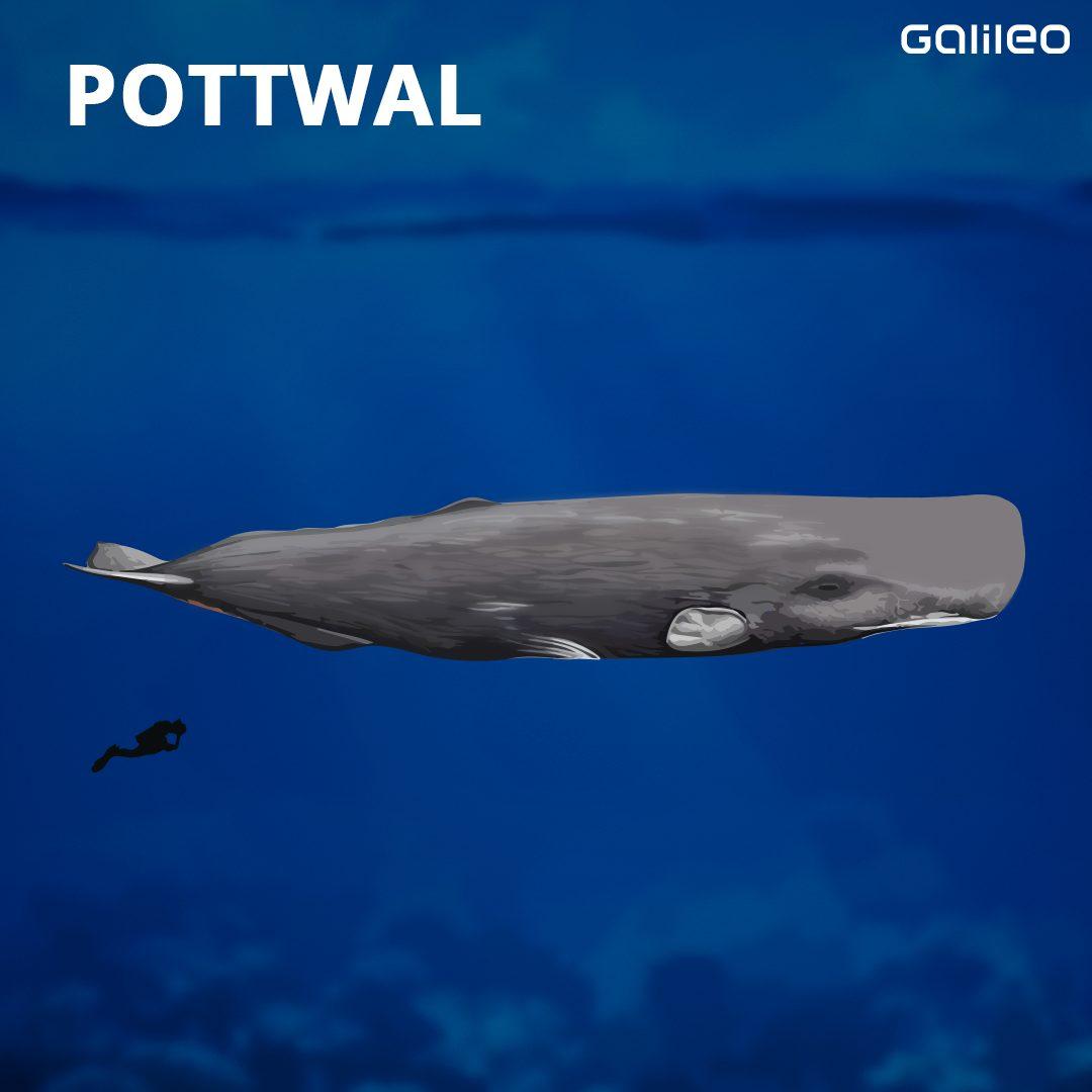 Pottwal