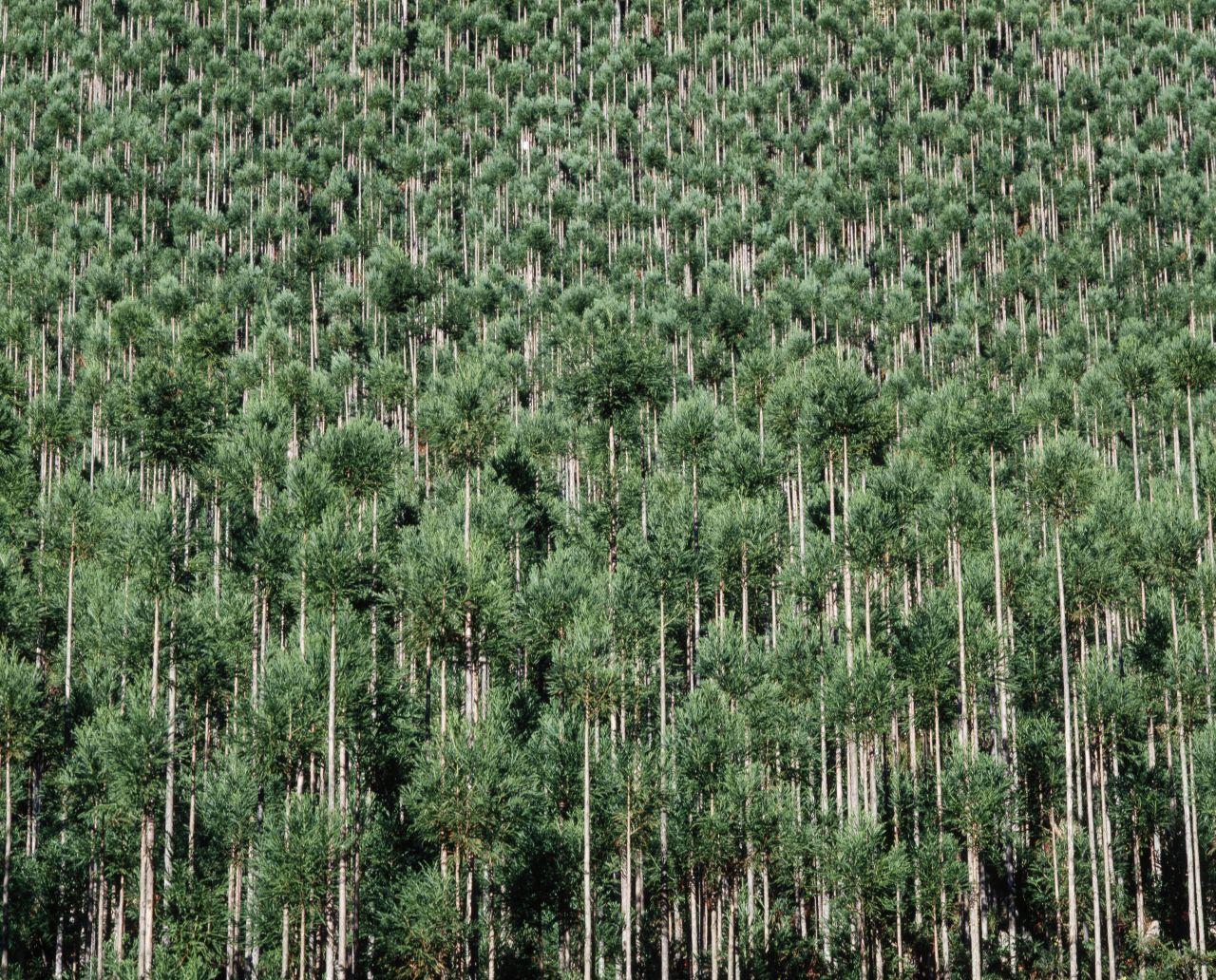 Daisugi: Wie in Japan Holz gewonnen wird - ohne Bäume zu fällen