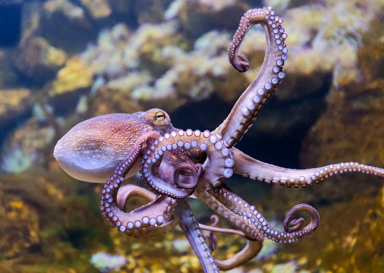 Kluge Kraken: Was die tierischen Tarnkünstler alles können