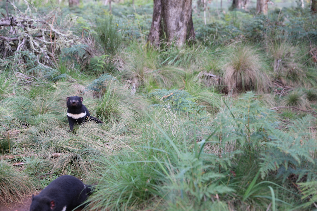 Tasmanische Teufel kurz nach der Freilassung
