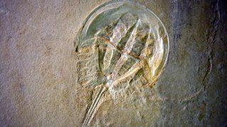 Versteinerter Schwertschwanz