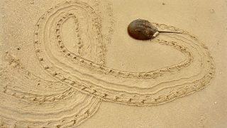 Pfeilschwanzkrebs am Strand