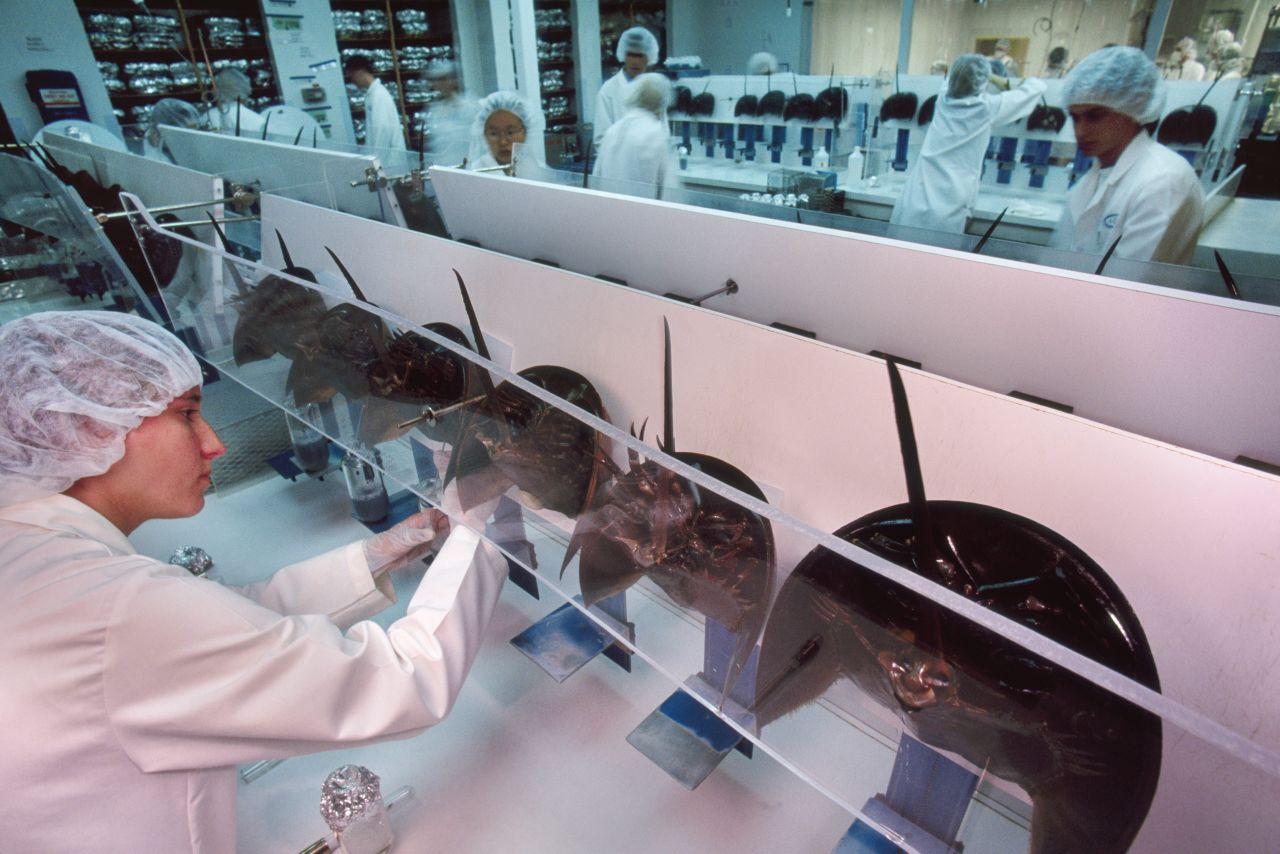 Pfeilschwanzkrebse im Labor