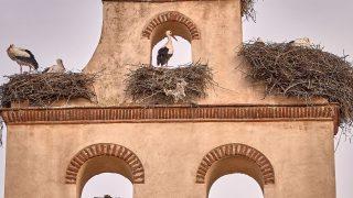 Storchen-Paare nisten auf alter Kirche