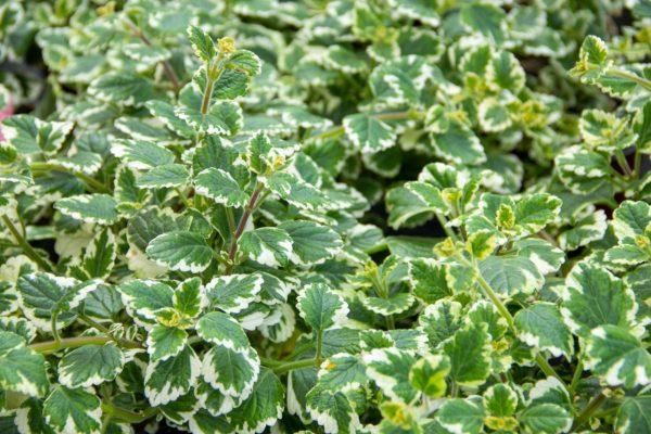 Weihrauch-Pflanze