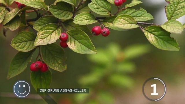 Superpflanze: Der grüne Abgas-Killer