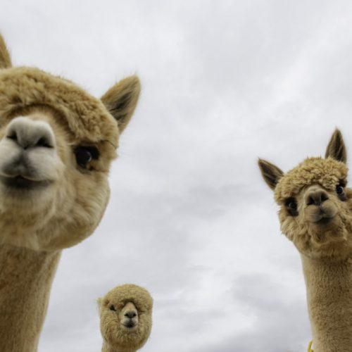 Drei Alpakas schauen in eine Kamera.
