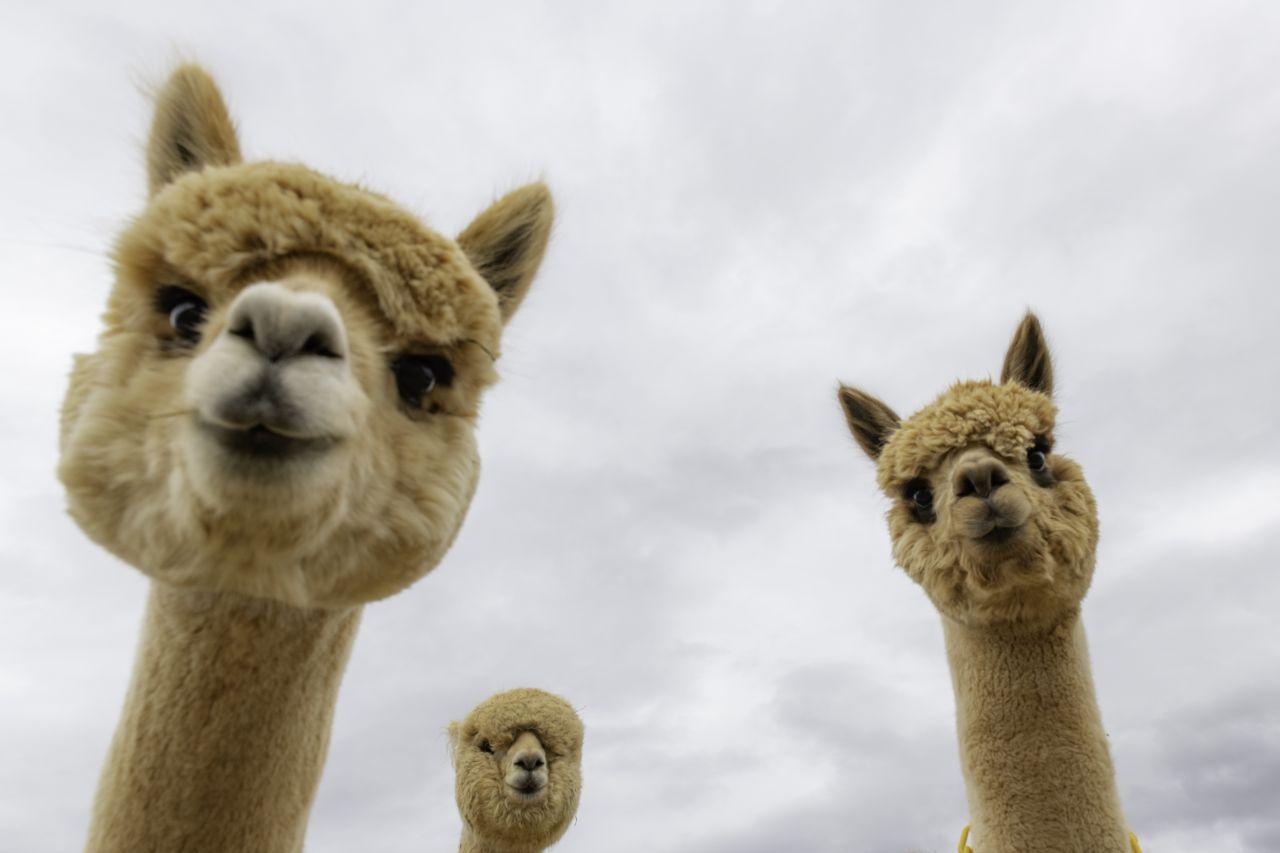 Alpaka statt Gans: Wie du beim Kauf deiner Bettdecke zum Tierschützer wirst