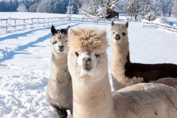 Gruppe von Alpakas im Schnee