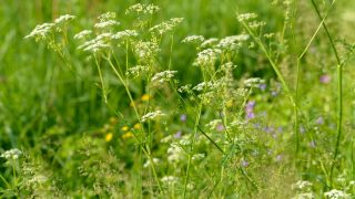 Anispflanzen auf einer Wiese