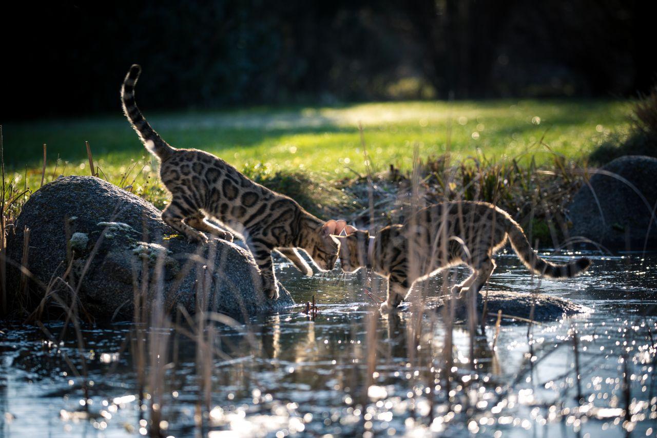 Zwei Bengalkatzen spielen am Teich