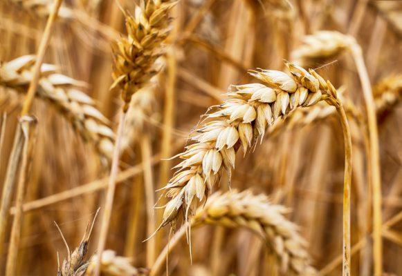 Alte Getreidesorten sind verträglicher