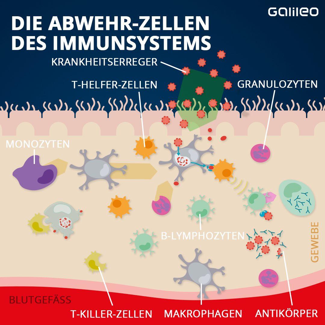 Die Abwehrzellen des Immunsystems