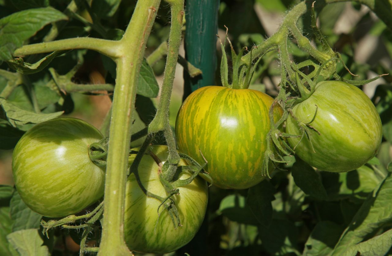 Green-Zebra-Tomaten am Strauch