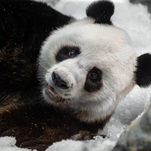 Pandas lieben Schnee. Das und mehr zeigen wir dir in unseren Clips der Woche.