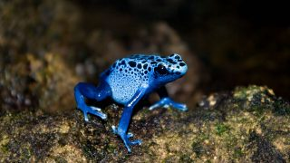 Pfeilgift-Frosch