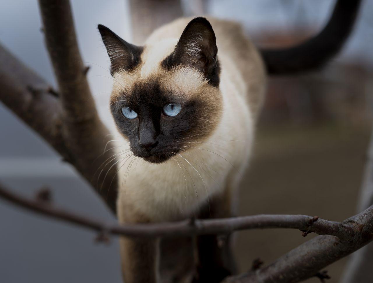 Siamkatze auf einem Baum