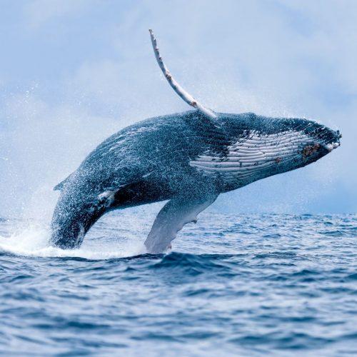 Wal springt aus dem Wasser