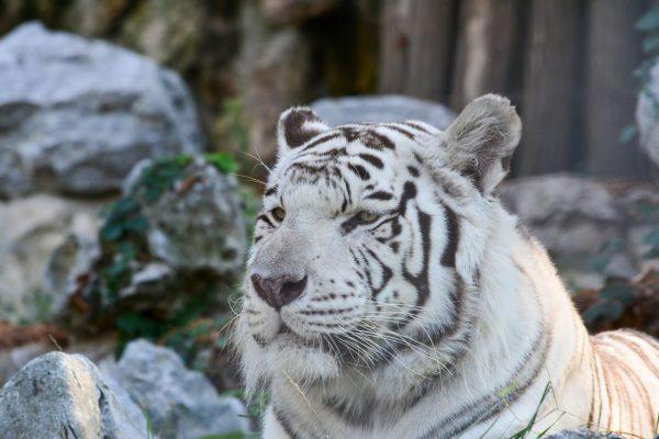 Bei weißen Tigern mit schwarzen Streifen.