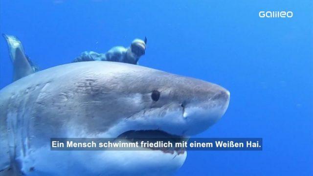 Deep Blue: Der größte Weiße Hai der Welt