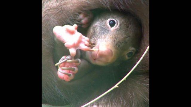 Warum ist der Kothaufen von Wombats würfelförmig? - 10s