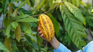 Kakaofrucht am Baum hängend