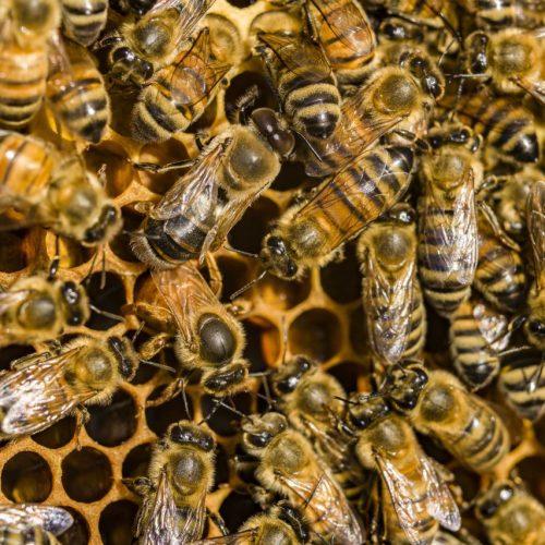Bienen kümmern sich in einem Bienenstock um die Honigwaben.