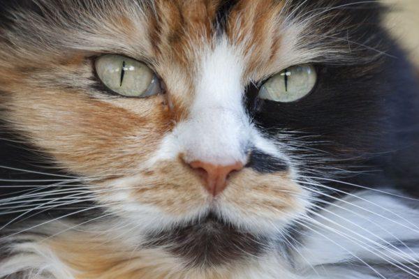 Katzen mit dreifarbigem Fell sind immer Weibchen und nie Kater.