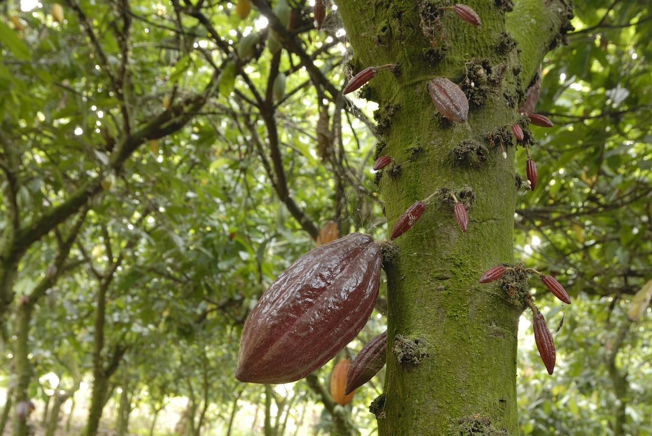 Direkt am Stamm wachsen die Kakaofrüchte