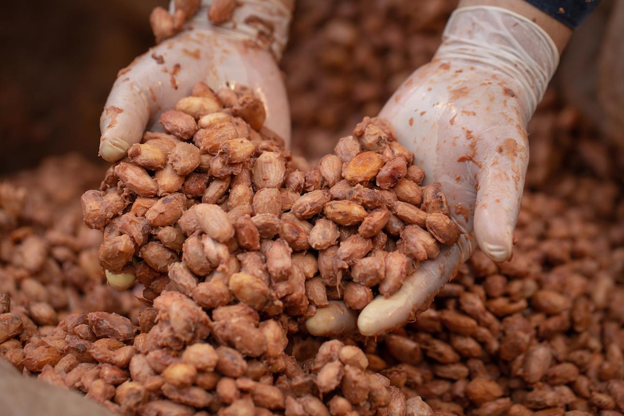 Fermentation des Kakaos.