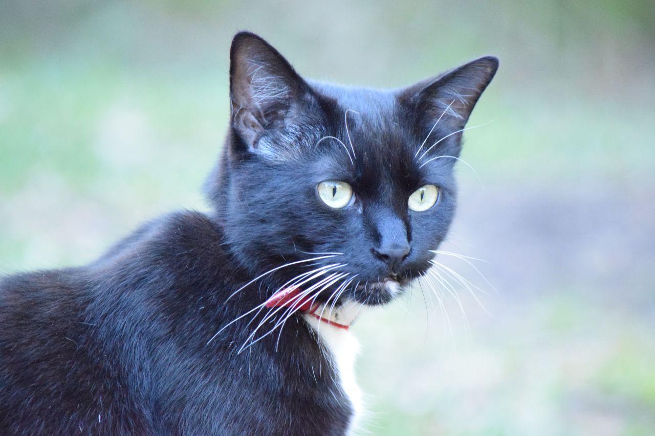 Katze mit Zeckenhalsband