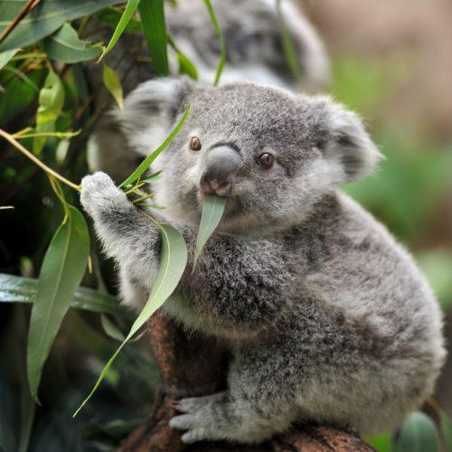 Koala Baby beim Eukolyptusessen