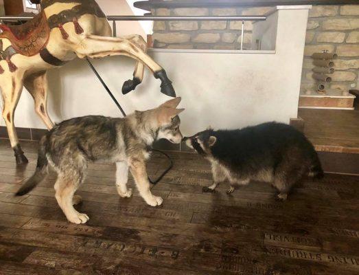 Wolfshund trifft Waschbären