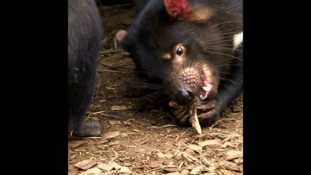 Beinahe ausgestorben: Tasmanischer Teufel - 10s