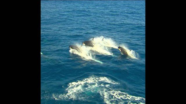 Der Orca: Riesen-Delfin und Jäger des Meeres - 10s