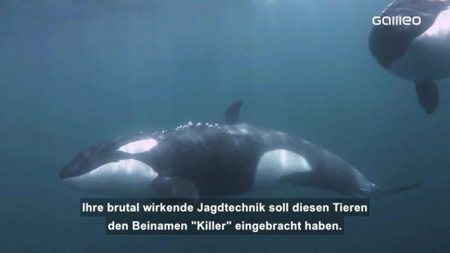 Der Orca: Riesen-Delfin und Jäger des Meeres