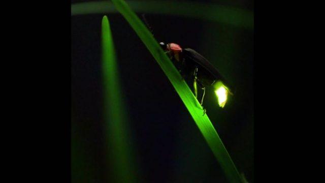 Warum glühen Glühwürmchen? - 10s