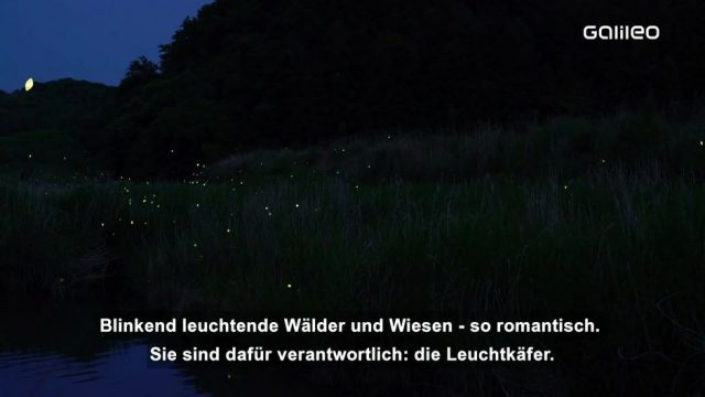 Warum glühen Glühwürmchen?