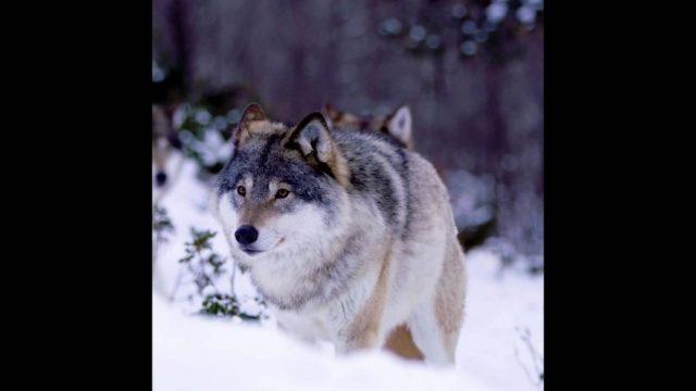 Wolfhund: Der scheue Jäger - 10s