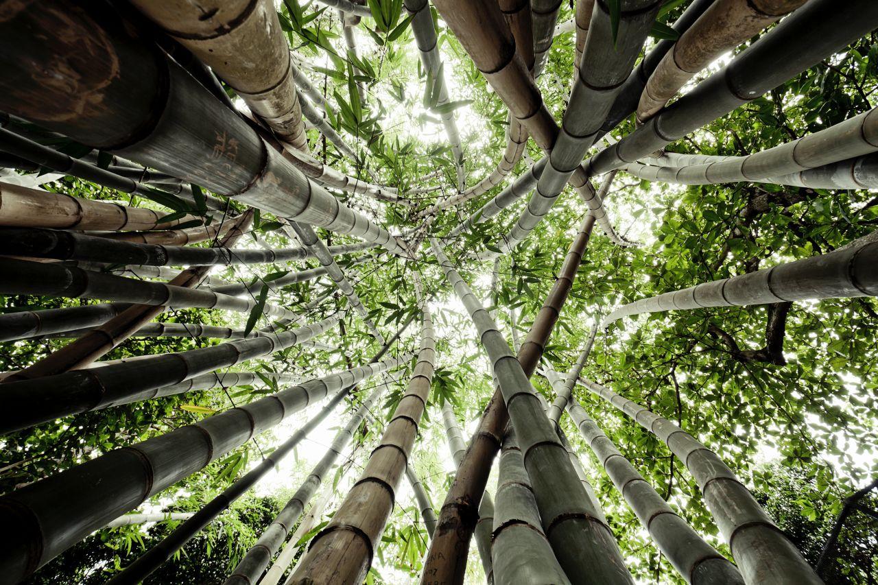 """Bambus: Warum der """"größte Grashalm der Welt"""" nur einmal blüht"""