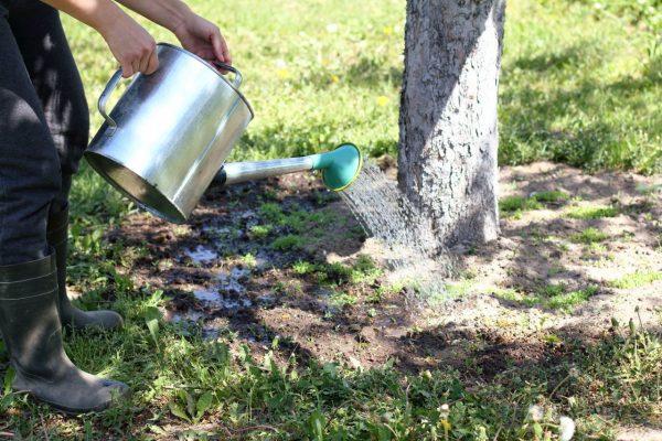 Baum wird mit Gießkanne gegossen