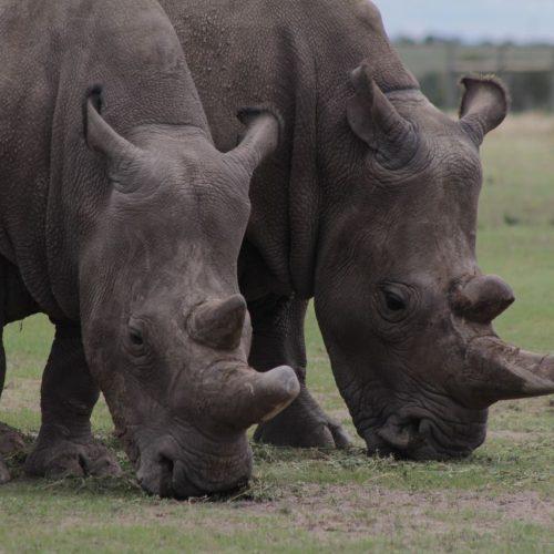 Die Nördlichen Breitmaulnashörner Fatu und Najin sind die letzten zei Weibchen dieser Art.