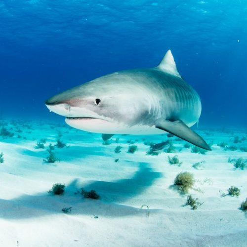 Tigerhaie schwimmen im Kreis.