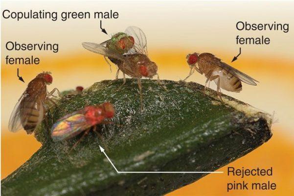 Fruchtfliegen zeigen soziales Lernen