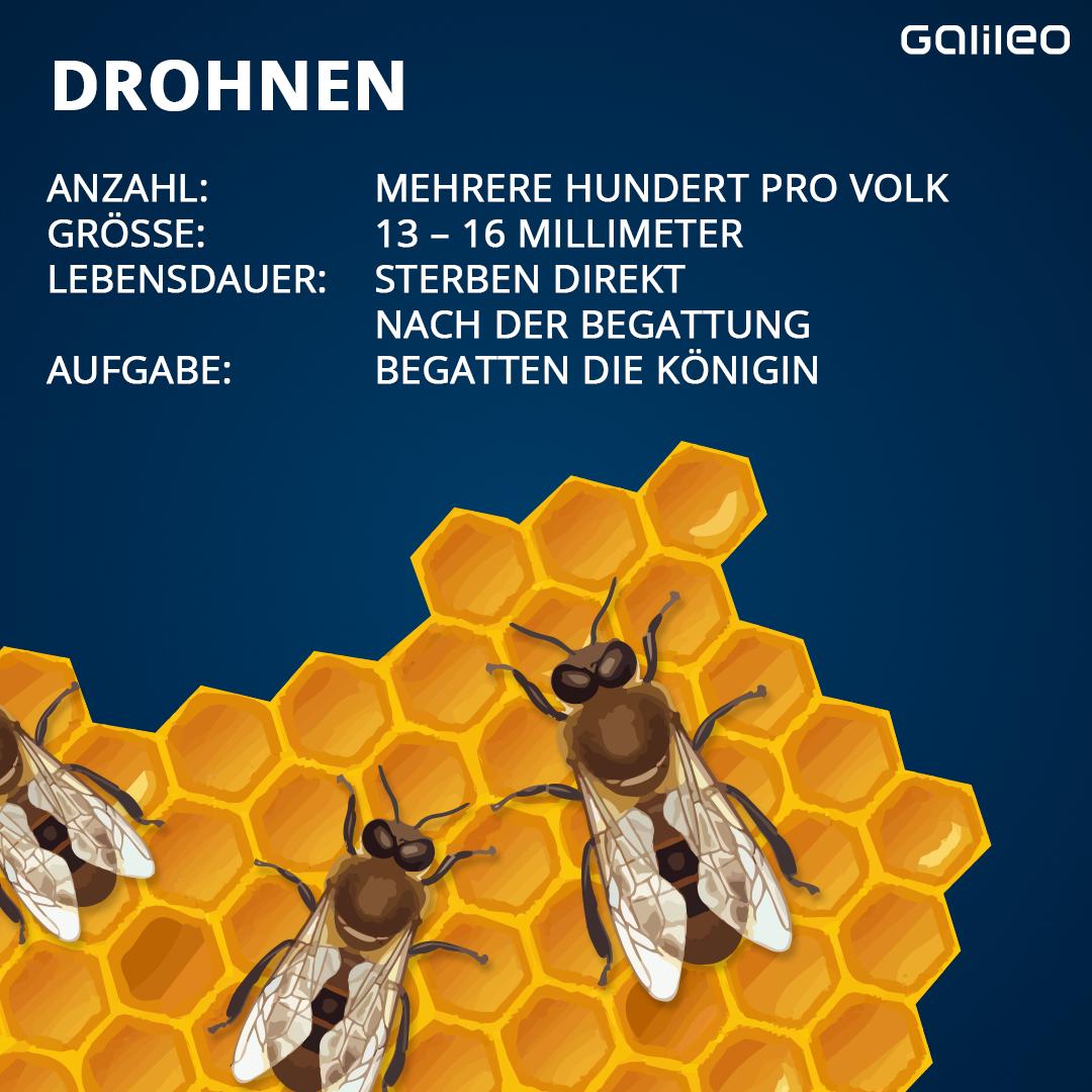 Drohnen Bienenvolk