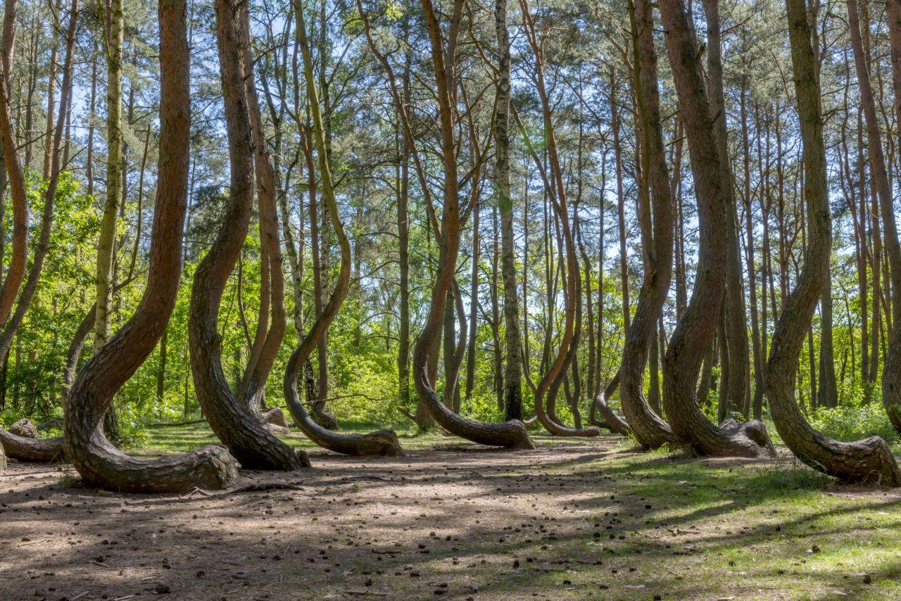Krummer Wald Krzywy Las Polen