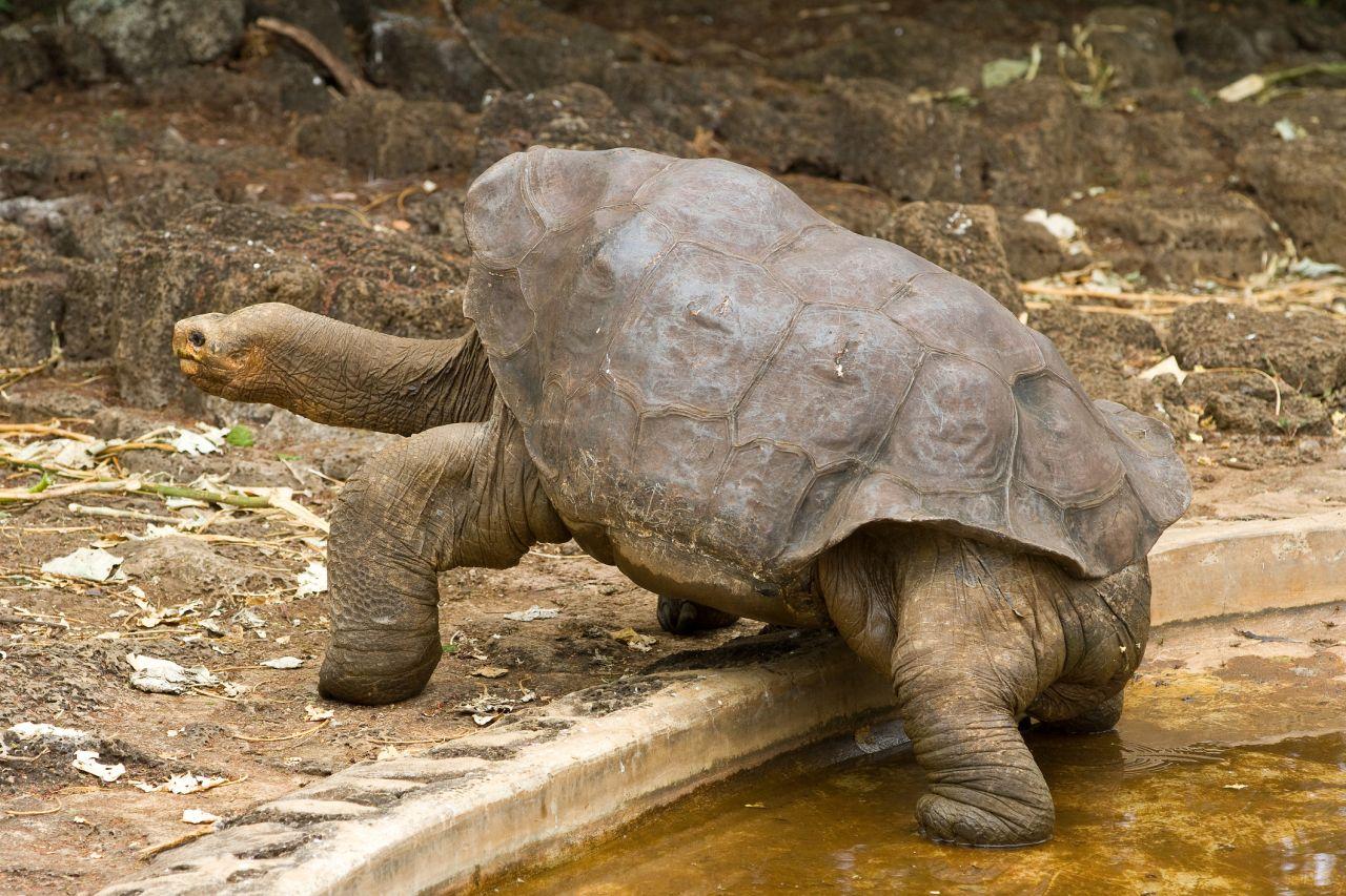 lonesome George Galapagos Inseln Riesenschildkröte