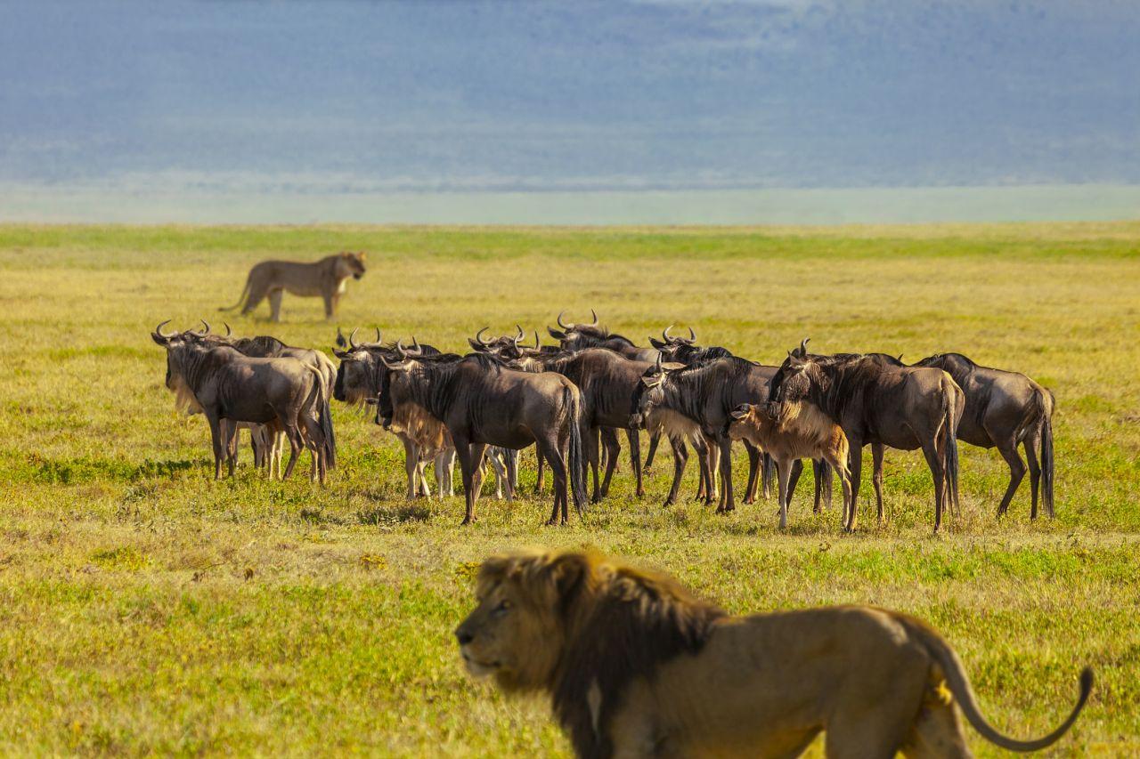 Löwen umzingeln ihre Beute