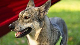Wolfhund Hybrid aus Wolf und Hund